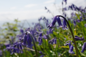 Blue bells at Arran